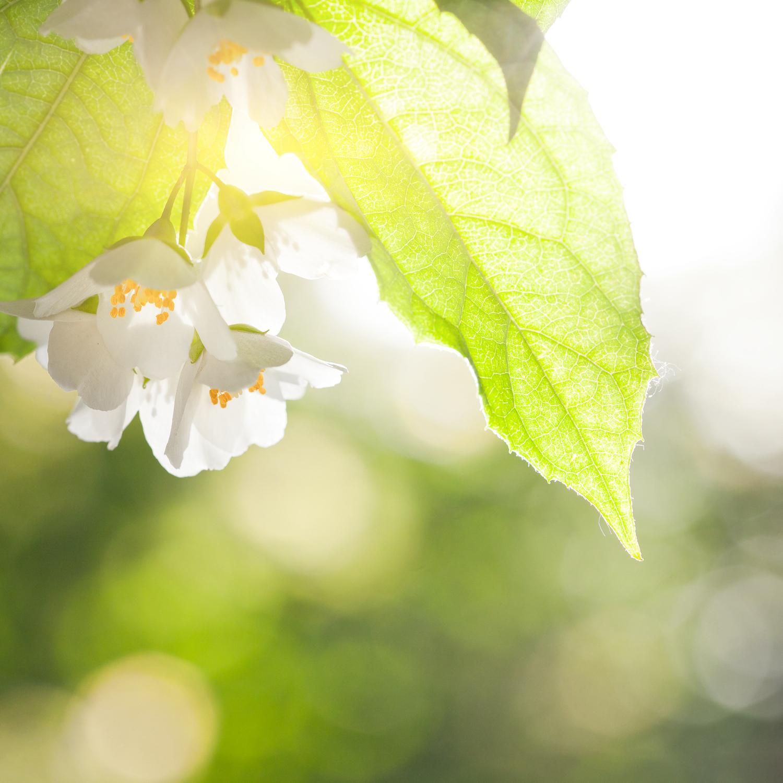 Jasmine flower against green natural sunny background